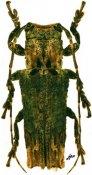 Ecthoea quadricornis, Onciderini, Amazonas