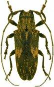 Hesychotypa jaspidea, ♀, Onciderini, French Guiana
