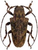 Pseudobeta ferruginea ♀, Onciderini, French Guiana