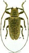 Lochmaeocles sladeni, ♂, Onciderini, Paraguay