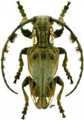 Mallonia patricii, ♂, Neopachystolini, Ethiopia