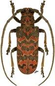 Eurysops insignis, ♂, Phrynetini, R. D. Congo