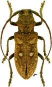 Paraphryneta allardi, ♀, Phrynetini, R. P. Congo