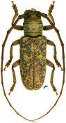 Prosopocera luteomarmorata, Prosopocerini, Zambia