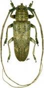 Prosopocera inermis, ♂, Prosopocerini, Tanzania