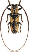 Prosopocera marshalli, ♂, Prosopocerini, Zambia