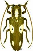 Prosopocera vitticollis, ♀, Prosopocerini, Ethiopia