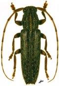 Ataxia obscura, ♂, Pteropliini, French Guiana