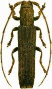 Epectasis similis ♀, Pteropliini, Guadeloupe