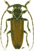 Esthlogena albolineata, ♀, Pteropliini, French Guiana
