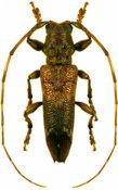 Rhaphiptera rixator, ♂, Pteropliini, French Guiana