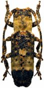 Sthenias cylindrator cylindrator, ♀, Pteropliini, Ivory Coast