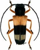 Glenea fasciata, ♀, Saperdini, Togo