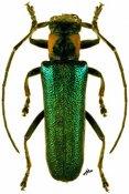 Saperda viridipennis, ♀, Saperdini, Shaanxi