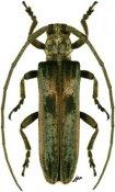 Planodema bimaculata, ♀, Theocridini, Ethiopia