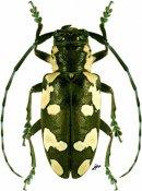 Baliesthes alboguttatus, ♀, Tragocephalini, Ethiopia