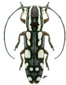 Tragiscoschema sp., ♀, Tragocephalini, Kenya