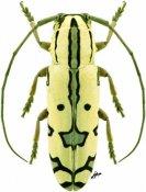 Tragiscoschema nigroscriptum, ♀, Tragocephalini, Kenya