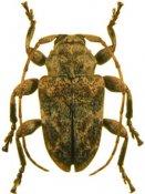 Xenofrea proxima ♂, Xenofreini, French Guiana