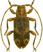 Xenofrea rogueti, paratype ♀, Xenofreini, French Guiana